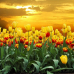 ФотоШторы  Тюльпаны в поле на закате