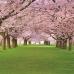 """Фотошторы """"Парк с цветущей вишней"""""""