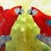 """Фотошторы """"Сладкая парочка. Попугаи"""""""