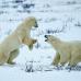 """Фотошторы """"Белые медведи"""""""